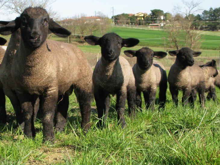 Foto pecora del Suffolk