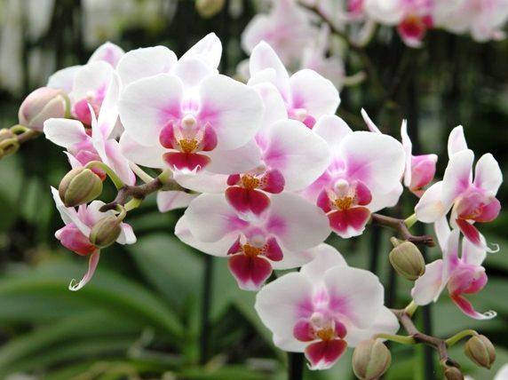 orchidea Phalaenopsis Brother Pico Sweetharth 1