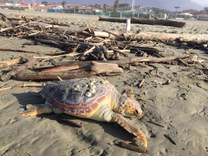 Foto tartartuga morta spiaggia Tonfano 3